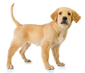 Golden Retriever puppy standing with tail raised