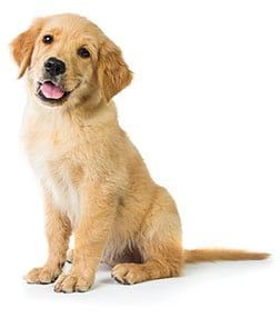Golden Retriever puppy sitting on a white background
